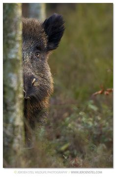 pet a wild boar! He felt so wire-y! Wild Boar Hunting, Hog Hunting, Animals And Pets, Funny Animals, Cute Animals, Wildlife Photography, Animal Photography, Beautiful Creatures, Animals Beautiful
