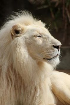 White lion who is will attack illegal poachers