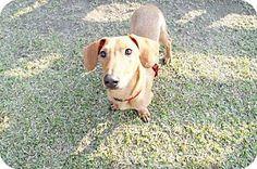 Vancouver, BC - Dachshund/Basenji Mix. Meet Gucci, a dog for adoption. http://www.adoptapet.com/pet/10591747-vancouver-british-columbia-dachshund-mix