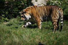Myrko lorsqu'il est en pleine santé au zoo lors de la saison estivale 2012.