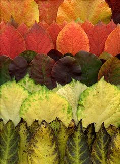 Leaf Art by horticultural art Autumn Scenery, Autumn Trees, Specimen Trees, Pressed Flower Art, Leaf Art, Nature Crafts, Arts And Crafts Supplies, Color Of Life, Dried Flowers