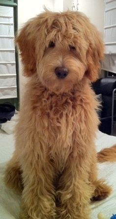 What a CUTE Labradoodle! Seriously stuck between a Goldendoodle and a Labradoodle. Cute Puppies, Cute Dogs, Dogs And Puppies, Doggies, Silly Dogs, Fun Dog, Baby Dogs, Chien Goldendoodle, Labradoodle Puppies