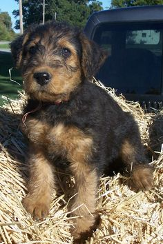 Baby airedales are so stinkin' cute.