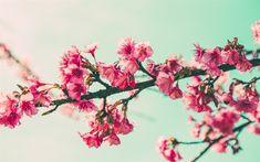 Télécharger fonds d'écran le printemps, les branches de cerisier, ciel bleu, sakura, fleur de cerisier, fleurs roses