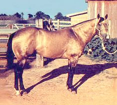 HARLAN Foundation Quarter Horse Stallion