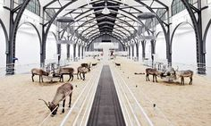 Carsten Höller: deer of perception    These reindeer have been fed a mushroom that makes their urine hallucinogenic. Or have they? Sam Williams visits Carsten Höller's new 'scientific experiment'