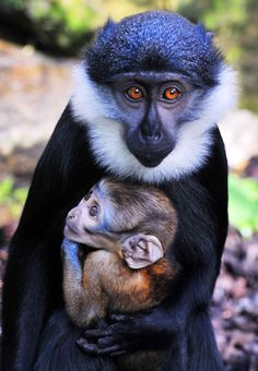 L'Hoest's monkeys arrive to the Budapest Zoo :: babybaboons Primates, Mammals, Monkey Breeds, Beautiful Creatures, Animals Beautiful, Wildlife Society, Types Of Monkeys, Baby Animals, Cute Animals