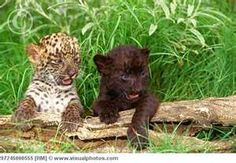 So adorable, baby leopard & black panther cub/kitty