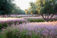 A Moroccan olive grove underplanted with 14,000 fountain grasses...