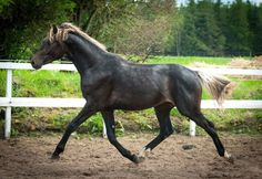 Dutch Warmblood colt Horizon