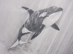 Orca Whale, Pencil Drawing by Trevor Smith - WAGs (Wingham Art Group students) Underwater Drawing, Ocean Drawing, Whale Drawing, Pencil Drawings Of Animals, Animal Sketches, Drawing Sketches, Sketching, Orca Tattoo, Whale Tattoos