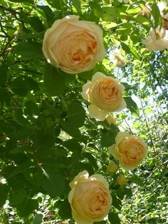 'Jude The Obscure' David Austin rose | Flowerpedia