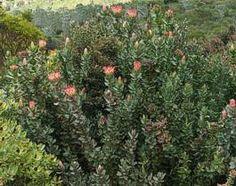Protea eximia bushes         Broad-leaved Protea     Breeblaarsuikerbossie               3 m       S A no 88,3