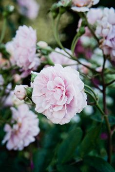 dustjacketattic:  Clair Matin' shrub rose