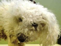 SAFE 4-27-2015 --- Mahattan Center PHILIP SEYMO – A1033872  UNKNOWN GENDER, WHITE, POODLE MIN MIX, 6 yrs STRAY – STRAY WAIT, NO HOLD Reason STRAY Intake condition EXAM REQ Intake Date 04/21/2015