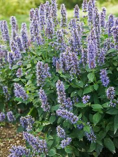 Agastache - Blue Fortune (Anise Hyssop) - covered in blue violet flower spikes Flower Garden Plans, Flowers Garden, Spring Flowers, Garden Ideas, Mixed Border, Garden Solutions, Deer Resistant Plants, Flowers Perennials, Native Plants