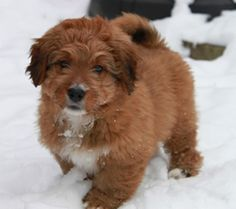 Mini Bernedoodle On Pinterest Bernese Mountain Dogs Poodle Mix And Poodle