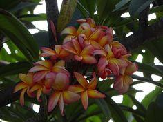 Plumeria. Esta flores crecen silvestremente en los campos y calles de mi Venezuela, las hay de varios colores, sus tonos y textura son un poema.