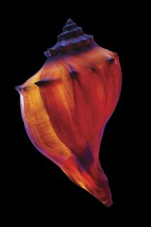 "Photo by Jim Zuckerman who states: ""The most dramatic way to photograph shells is with strong backlighting. When you place a bright light directly behind the shell, it suddenly seems like it is glowing from within. The colors are intense, the form of the shell is beautifully defined, and all of the detail in the structure is revealed. The results are even more dramatic when you use a black background"" (orange + blue)"