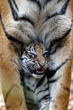 Dans les pattes de maman...