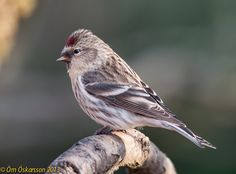 Common Redpoll (Carduelis flammea) | The range of the common redpoll extends through northern Europe and Asia to northern North America, Greenland and Iceland. | by raudkollur
