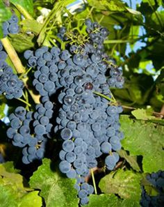 Blueberry Grape-----Pick these wonderful Blueberry Grapes mid-August through September to eat right from the vine or to make jam, jelly and wine. (BLUEBERRY GRAPE IS A NEW VARIETY IN LIMITED SUPPLY. ORDER EARLY.) Grows in zones: 6 - 10.