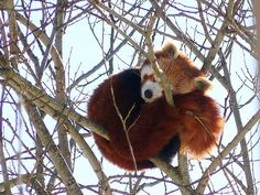 36 Red Pandas Taking Advantage Of The Sleepy Season. So cute! Red Panda Cute, Panda Love, Panda Bear, Red Pictures, Animal Pictures, Cute Funny Animals, Cute Cats, Beautiful Creatures, Animals Beautiful