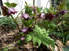 Kerstroos - helleborus orientalis