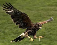 Harris Hawk by BombDog, via Flickr