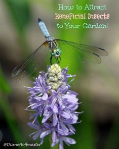 Attracting beneficial insects like bees, dragonflies, and butterflies can increase garden harvest. Learn how to attract beneficial insects to your yard with a few simple tips. via @DianeHoffmaster #gardening #gardeningtips #gardens