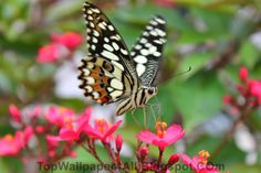 "Butterfly and The Flower           w2bPinItButton({        url:""http://topwallpaper4all.blogspot.com/2014/01/butterfly-and-flower.html"",        thumb: ""http://1.bp.blogspot.com/-9xoVluEGKSQ/UtnL9QuNQ2I/AAAAAAAABMc/MI38q6hrS70/s72-c/Buuterfly and Flower1.jpg"",        id: ""7238574359229950542"",        defaultThumb: ""http://4.bp.blogspot.com/-YZe-IcKvGRA/T8op1FIjwYI/AAAAAAAABg4/j-38UjGnQ-Q/s1600/w2b-no-thumbnail.jpg"",        pincount: ""horizontal""       })"