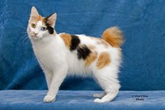 Trendy Ideas For Cute Cats Aesthetic Calico - Manx Cat - Ideas of Manx Cat - Trendy Ideas For Cute Cats Aesthetic Calico The post Trendy Ideas For Cute Cats Aesthetic Calico appeared first on Cat Gig. Japanese Bobtail, Japanese Cat, Pretty Cats, Beautiful Cats, Cute Cats, Snowshoe, Warrior Cats, Gato Bobtail, Gato Calico