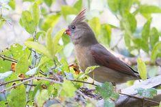 Female Cardinal at the Yamato Scrub Natural Area, Boca Raton, Florida, USA.  See more pics from the Yamato Scrub at https://flic.kr/s/aHsjYLZPg5  Like it? Tip it! http://smalagodi.tip.me -  www.onename.io/malagodi
