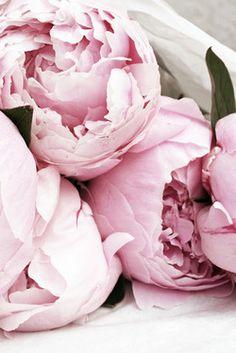 Pivoines via Annual Flowers, All Flowers, Flowers Nature, Summer Flowers, Dried Flowers, Beautiful Flowers, Blush Roses, Pink Peonies, Pastel Balloons