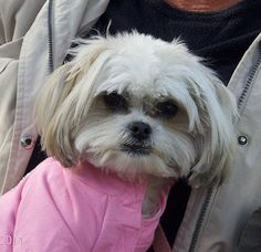 This is my dog Molly. She's a Mal-Shi, half Maltese and half Shih Tzu and totally sweet.