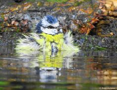 Super gave foto van een badend pimpelmeesje gemaakt door fotograaf Rob Edelman