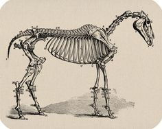 Horse Skeleton Print