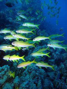 School of Flame Goatfish or Yellowfin Goatfish, Mulloidichthys vanicolensis at Sataya Reef, Red Sea, Egypt #SCUBA by Derek Keats, via Flickr