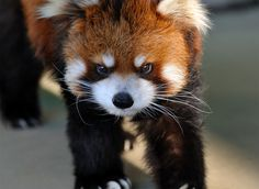 this is a fierce looking little panda and still so cute xx