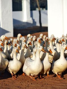 The Pekin ducks at Babylonstoren. Everyday going into the orchards to eat snails and weeds.