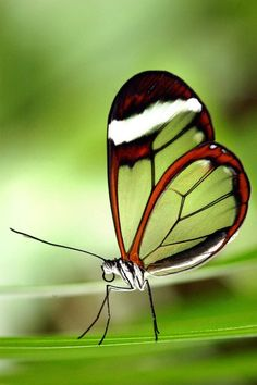 Amazing transparent butterfly?