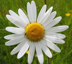 Learn about the uses of ox-eye daisy for the sniffles on my new blog, http://TheWildcrafter.com.