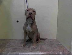 URGENT - Manhattan Center    PERRY - A0992745   MALE, BR BRINDLE / BROWN, PIT BULL MIX, 4 yrs  STRAY - STRAY WAIT, NO HOLD  Reason STRAY   Intake condition NONE Intake Date 02/27/2014, From NY 11213, DueOut Date 03/02/2014, I came in with Group/Litter #K14-169312. https://www.facebook.com/Urgentdeathrowdogs/photos_stream