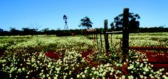 Everlastings - Western Australia's annual wildflower display is truly an amazing sight. This was taken near Wubin, North East of Perth.