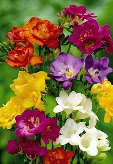 Freesias, beautifully fragrant, great cut flower, colours range from white thru yellows, pinks, reds and purples