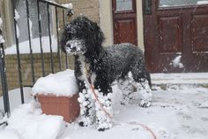 Portuguese Water Dog snowballs.  This is what happens to my girl when we walk in the snow.  :)
