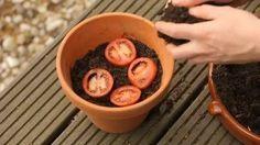 Etwas Erde kommt in einen Topf, die Tomatenscheiben oben drauf und dann mit noch etwas Erde bedecken.