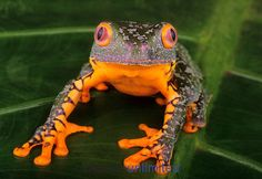 Amazon Leaf Frog (Agalychnis craspedopus), Peru