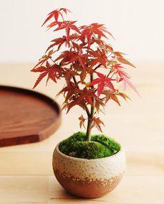 紅葉 出猩々もみじの盆栽 size: お届け時のサイズ/高さ約18cm 陶器/高さ約7×直径約10.5cm 化粧箱/幅25×奥行き18×高さ25cm