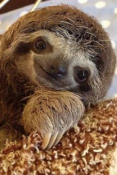 cute sloth Orphaned Baby Sloths Nursed Back To Health At Snuggly Sanctuary Pictures Of Sloths, Cute Sloth Pictures, Adopt A Sloth, Sloth Bear, Sloth Animal, Funny Animal, Happy Animals, Cute Baby Animals, Wild Animals
